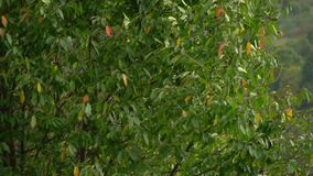Baum im Wind Der Wind zerreißt die Blätter weg vom Baum Herbst-fallende Blätter stock video
