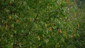 Baum im Wind Der Wind zerreißt die Blätter weg vom Baum Herbst-fallende Blätter Langsame Bewegung stock footage