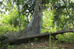 Baum Ironwood, das im Wald von Borneo gestorben sind stockbild