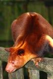 Baum-Känguru Stockfoto