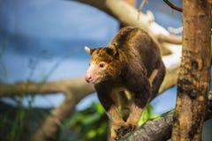 Baum-Känguru Stockfotografie