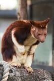 Baum-Känguru Lizenzfreies Stockfoto