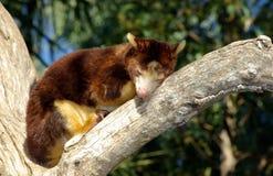 Baum-Känguru Lizenzfreie Stockbilder