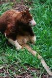 Baum-Känguru II Lizenzfreie Stockfotografie