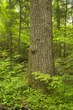 Baum-Kabel, Bewegungsnatur-Spur, Smokies Lizenzfreie Stockbilder