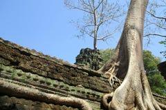 Baum Kambodschas Angkor Wat wächst in Schrein stockbild