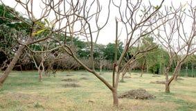 Baum kein Blatt Stockfoto