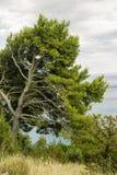 Baum-Kiefer Stockbild