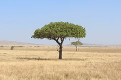 Baum Kigelia Africana in Serengeti stockfotos
