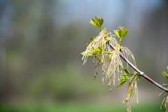 Baum-Knospe Stockfoto