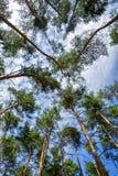 Baum krönt Kiefern Stockfotografie