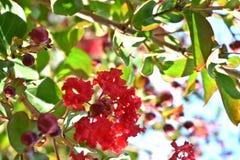 Baum, Krepp Myrte, rote Blumen lizenzfreie stockbilder