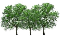 Baum lokalisiert über Weiß stockbilder