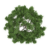 Baum lokalisiert. Acer-Zuckerahornspitze Stockbilder