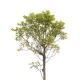 Baum lokalisiert Lizenzfreie Stockfotografie