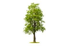 Baum lokalisiert mit weißem Hintergrund Stockfoto
