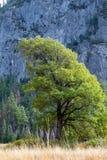 Baum manikürt zum Berg Stockbilder