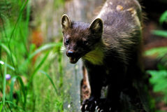 Baum marten Stock Photography