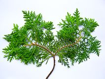 Baum Mimi Lizenzfreies Stockfoto