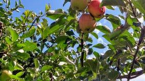Baum mit Äpfeln Stockbild