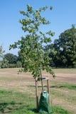 Baum mit Bewässerung wachsen Tasche stockfotos