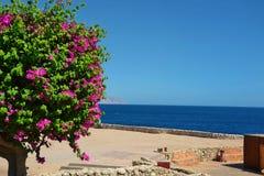 Baum mit blühenden rosa Blumen auf dem Ufer des Roten Meers Lizenzfreie Stockfotografie