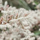 Baum mit Blumen von Tamarisk Lizenzfreie Stockfotografie