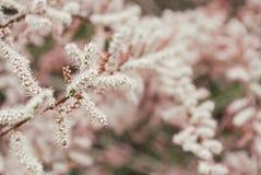 Baum mit Blumen von Tamarisk Stockbilder