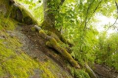 Baum mit den bloßen Wurzeln, die mit grünem Moos umfasst werden, wächst auf dem Stein Stockbilder