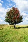 Baum mit den farbigen Blättern, die auf einem Gebiet wachsen Stockbild