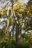 Baum mit dem langen Haar. Stockfotos