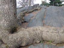 Baum mit den großen und langen Wurzeln, die auf Felsen wachsen Stockfotos