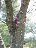 Baum mit den rosa Blumen, die von der Barke auftauchen stockbild