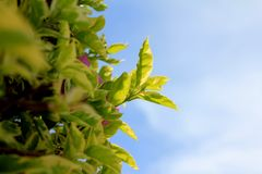 Baum mit den weichen Blättern stockfotografie