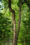 Baum mit einem Spalten-Stamm Stockfotos