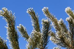 Baum mit einer Frostfichte Stockbilder