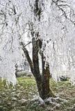 Baum mit eisigen Frost geschnürten Zweigen Stockfoto