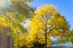 Baum mit Gelb verlässt auf klaren Autumn Day Lizenzfreies Stockbild