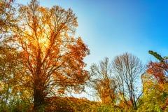 Baum mit Gelb verlässt im Sonnenlicht stockfoto