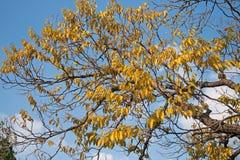 Baum mit gelben Blättern Lizenzfreie Stockbilder