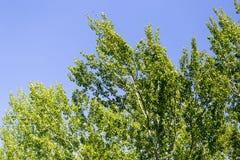 Baum mit Grün verlässt gegen den blauen Himmel Lizenzfreie Stockbilder