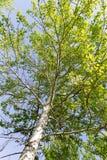 Baum mit Grün verlässt gegen den blauen Himmel Stockbilder