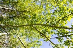 Baum mit Grün verlässt gegen den blauen Himmel Lizenzfreies Stockfoto