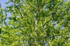 Baum mit Grün verlässt gegen den blauen Himmel Lizenzfreies Stockbild