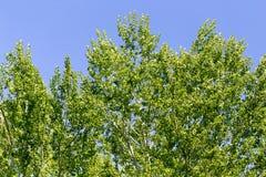 Baum mit Grün verlässt gegen den blauen Himmel Lizenzfreie Stockfotografie