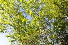 Baum mit Grün verlässt gegen den blauen Himmel Stockfotos