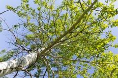 Baum mit Grün verlässt gegen den blauen Himmel Stockfoto