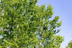 Baum mit Grün verlässt gegen den blauen Himmel Stockfotografie