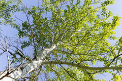 Baum mit Grün verlässt gegen den blauen Himmel Lizenzfreie Stockfotos