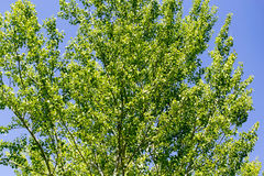 Baum mit Grün verlässt gegen den blauen Himmel Stockbild